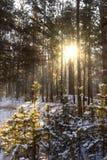 Słońce promienie w zima lesie Zdjęcie Stock