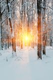 Słońce promienie, zima świt w lesie Obrazy Royalty Free