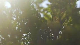 Słońce promienieje przez conifer drzewa, promienie światło połysk w świerkowych gałąź zwalnia zbiory