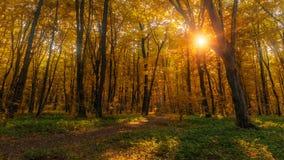 Słońce promienieje przez gęstych drzewo gałąź w zwartym żółtym jesień lesie zdjęcia royalty free