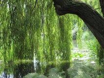 Słońce przemaczający płacze wierzbowy drzewo Fotografia Royalty Free