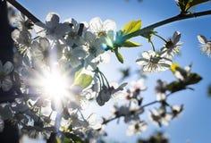 Słońce przerwy przez czereśniowych okwitnięć fotografia royalty free