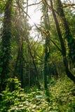 Słońce przez drzew przerastających z mech w zwartym tropikalnym lesie deszczowym fotografia stock