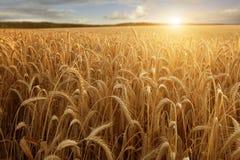 Słońce przy pszenicznym polem Zdjęcie Stock
