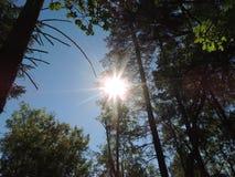Słońce though drzewa Obrazy Royalty Free
