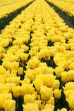 słońce tulipany Obraz Royalty Free