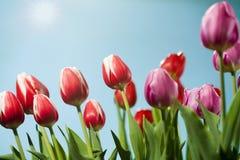 słońce tulipany Obraz Stock