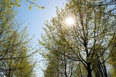 Słońce w drzewnych wierzchołkach zdjęcie stock