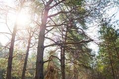 Słońce w Pięknym lato sosny lesie Obraz Stock