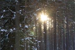Słońce w zima lesie Zdjęcia Royalty Free