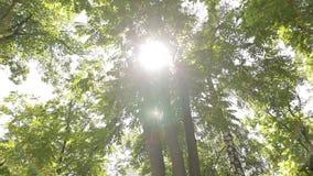 Słońce zaświeca up ulistnienie przy letnim dniem w gaju Brzoza, akacja i inni drzewa, zbiory