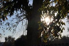 Słońce Zaświecający dąb obraz stock