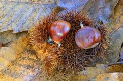 Słodcy kasztany na ziemi Zdjęcie Stock