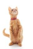 słodka imbirowa kotku Obrazy Royalty Free