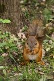 słodka jeść orzeszki wiewiórka Obraz Stock