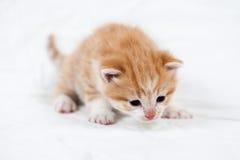 Słodka mała pomarańczowa figlarka w fotografii studiu Zdjęcie Royalty Free
