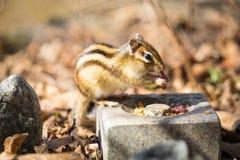 słodka mała wiewiórka Zdjęcie Royalty Free