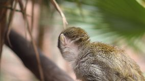 słodka małpia wiewiórka Saimiri Sciureus 4k filmowa klamerka zbiory wideo