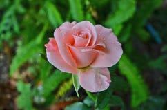 Słodka miękkich części menchii róża na natury tle Obrazy Stock