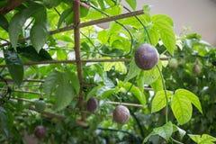 Słodka pasyjna owoc na roślinie Obraz Royalty Free