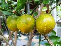 Słodka pomarańcze zdjęcia stock
