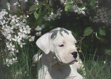 Słodka szczeniaka Dogo Argentino pozycja w kwiatonośnych drzewach obraz stock