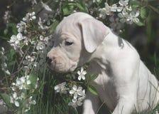 Słodka szczeniaka Dogo Argentino pozycja w kwiatonośnych drzewach obrazy royalty free