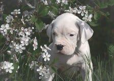 Słodka szczeniaka Dogo Argentino pozycja w kwiatonośnych drzewach obraz royalty free