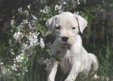 Słodka szczeniaka Dogo Argentino pozycja w kwiatonośnych drzewach zdjęcia royalty free
