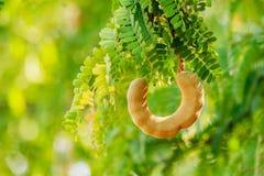 Słodka tamarynda na drzewie w theg Arden Tajlandia zdjęcia royalty free