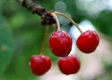 Słodka wiśnia wciąż na drzewie Zdjęcie Stock