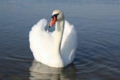 słodki łabędzi natura światu wody jeziora ptak Obraz Stock