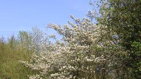 Słodki Aromatyczny Kwitnąć Dzikich kwiaty Z Młodymi liśćmi Zdjęcie Royalty Free