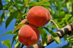 Słodki brzoskwini owoc dorośnięcie na brzoskwini drzewie Obraz Royalty Free