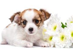 Słodki chihuahua szczeniak z chryzantemami kwitnie zakończenie odizolowywającego na bielu zdjęcie stock