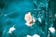Słodki groch kwitnie na pięknym błękitnym tle Zdjęcia Stock