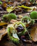 Słodki kasztan jesień - Castanea Sativa - Zdjęcia Royalty Free