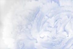 Słodki koloru goździk w miękkiej części i plamy stylowym tle Obrazy Stock