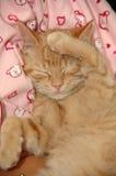 słodki kotek śpiący Zdjęcie Royalty Free