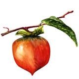 Słodki persimmon royalty ilustracja