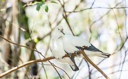 Słodki Pied cesarski gołębi ptasi sen wpólnie Obrazy Stock