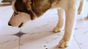 Słodki pies husky zjada kość w domu na podłodze zbiory wideo