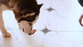 Słodki pies husky zjada kość w domu na podłodze zdjęcie wideo