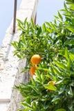 Słodki pomarańczowy drzewo Zdjęcia Royalty Free