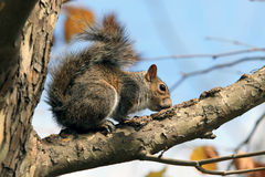 słodki squirel drzewo Obrazy Royalty Free