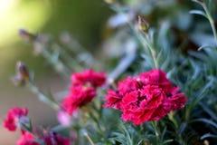 Słodki William menchii kwiat obrazy royalty free