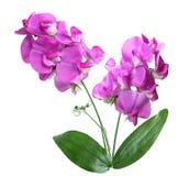 Słodkich grochów kwiaty Obraz Royalty Free