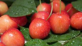 Słodkie Żółte Czerwone wiśnie z Wodnymi kroplami i gałąź zbiory wideo