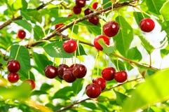 słodkie gałęziaste wiśnie Obrazy Stock