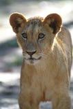 słodkie młode lwy Fotografia Stock